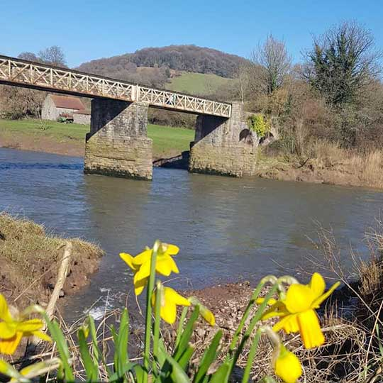 wire bridge across the river wye at tintern in the sunshine with daffodils